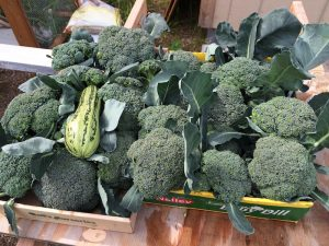 Harvested broccoli