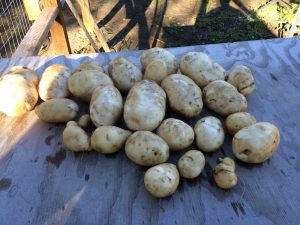 Potato's from one plant